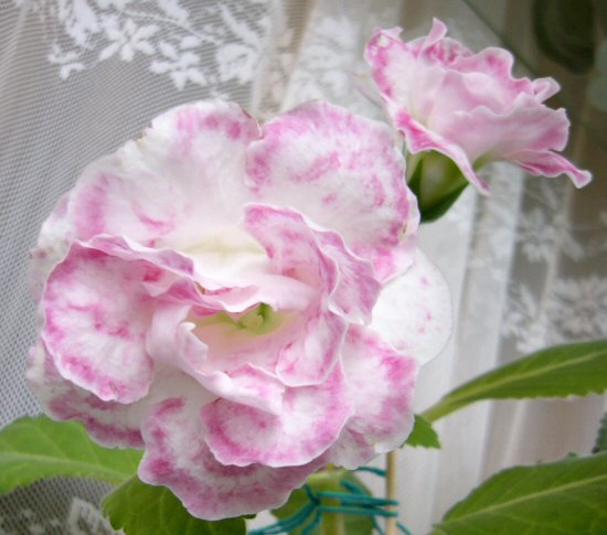 thornland s marble пеларгония фото